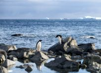 First Adelie penguins to be seen